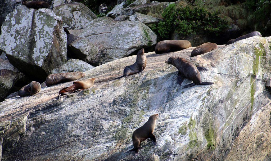 Pelssæler, Milford Sound